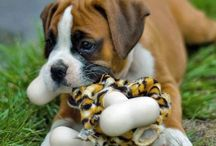 Boxer Puppies & dDogs