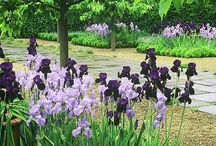 Interessante Iris