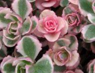 fiori ornamentali.