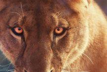 Lion ❤️️