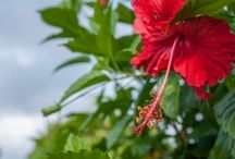 Hibiscus / Learn how to plant, grow, and take care of the hibiscus plants. Check out the different types of hibiscus and their benefits and uses.  - http://plantedwell.com/hibiscus-growing-caring-uses/