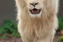 Løver å tiger