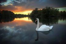 Labutě /Swans/