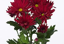 Chrysanthemum Spray / Different varieties of fresh cut Spray Chrysanthemum specifically grown for the wholesale flower trade. These Chrysanthemums are multi-headed.