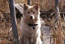 Johka / My photoes of my Finnish Lapphund male, Johka.