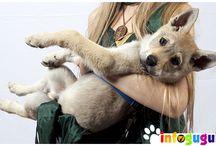 @infoguguk | Infoguguk.com / Media Diskusi dan Informasi Komunitas Penggemar Anjing di Indonesia. Berisi cara perawatan,kesehatan anjing, galeri foto anjing, video kontes anjing dan semua untuk gukfriends