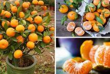Cómo cultivar mandarinas en macetas