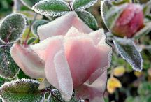 Цветы и иней