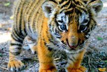 le tigri