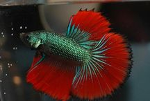 rybki tańczą sambę