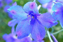 aug birthflower