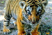 małe tygryski