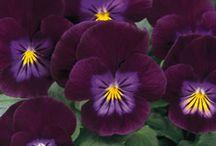 Purple Flowers / by Patricia Stautihar