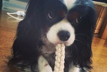 Cavaliers <3 / My dream dog~~~
