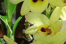 Orquídeas do nosso jardim