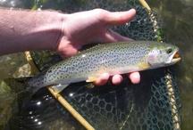 COASTAL CUTTHROAT / Fly fishing for coastal cutthroat.  Coastal cutthroat on the fly.