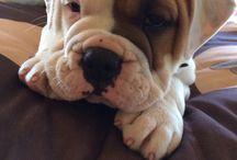 Douglas the bulldog