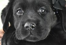 Pet / Puppy