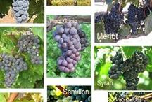 Vinos y uvas