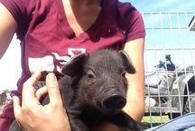 Must Love Pork / All about hogs, piggies, pasture raising heritage breeds