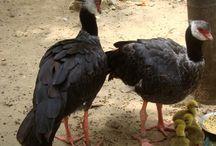 Nacimiento Chavarri / Ave diurna que vive en las orillas de los ríos y ciénagas. Se les encuentra solitarios o en pequeños grupos. En Zoobaq nacieron 4 crías en el 2013. Es el primer nacimiento registrado de esta especie categorizada en estado vulnerable de extinción.