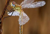 DRAGONFLY / Amazing Dragonfly