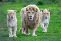 Animals - Lion / lion / by AV