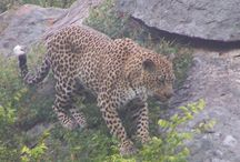 Leopard's / Leopard's spotted.