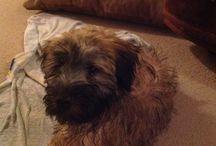 Meet Finnegan ! / Our new wheaten terrier pup