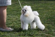 My poodles