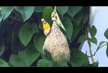 5 Areas Weaver Birds mimic Humans