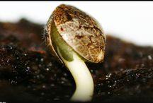 I love Germinating Marijuana Seeds / Beautiful pictures of marijuana seeds germinating.
