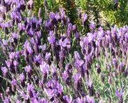 Growing - Lavender