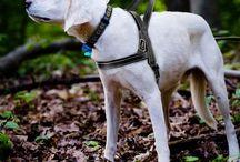 Canicross, harnais, laisses et ceintures pour courir avec son chien / Canicross, matériel et équipement pour courir en toute sécurité avec son chien. Harnais, laisse, et ceinture pour le confort du chien et de son maître.