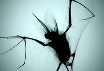 Fladdermöss / Fotografier, teckningar målningar mm. Alla typer av bilder på fladdermöss och dyl.