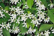 Plantas 2 ( Jazmines)