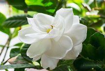VM: Gardenia