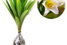 Tanaman Gantung Daun / Semua tanaman dalam board ini bisa dikirim keseluruh Indonesia, silahkan order ya, tel: 0341-599399 I SMS center: 08569020300 atau kunjungi website kami www.kebunbibit.id