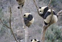 Pandas / by Cindy Busch