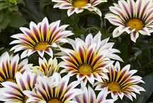 Gazania  daisies and cosmos