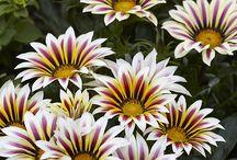 Gazania  daisies and cosmos