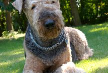 Airedale  / by Wani Daller