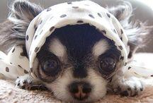 Chihuahua lover!