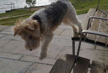 Dedicated to wire haired fox terriers / For the love of wire haired fox terriers particulary the one called Ripley!