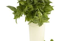 planta aromática