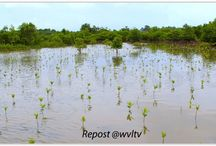 THE AIM OF THE PROJECT / Read more https://wvltv.wordpress.com/2015/06/10/the-aim-of-the-project/  ADOPT A MANGROVE  http://www.thorheyerdahlclimatepark.org/product/mangrove-tree/