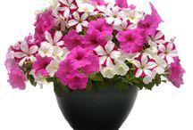 petunia kukat