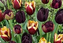 tulipaner sommer