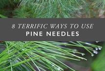 Pine needles, using