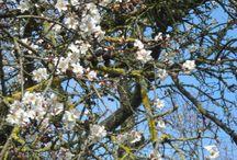 """Mandelblüte- almond blossom an der """"Deutschen Weinstrasse"""" (Prunus dulcis - Prunus amygdolo-persica) / Blumen und Pflanzen"""